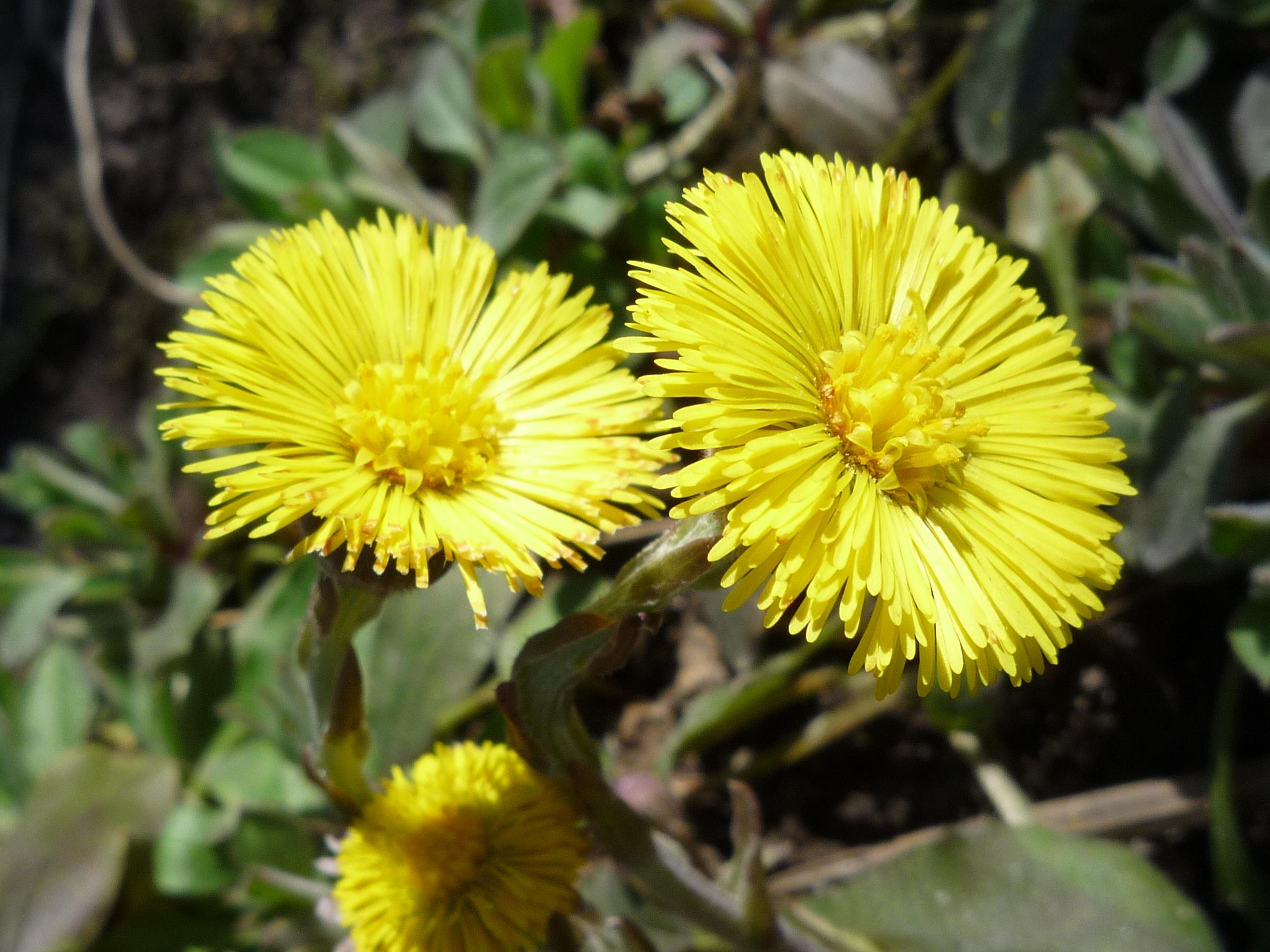 Фото цветов мать мачеха